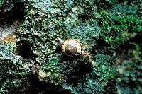 A land snail on a karst limestone hill in Niah National Park, Sarawak, Malaysian Borneo.