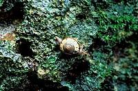 A land snail on a karst limestone hill in Niah National Park, Sarawak, Malaysian Borneo.