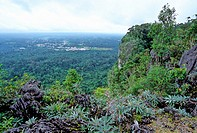 Bukit Kasut, a limestone hill with a calcophile flora including the gesneriad Paraboea pale green leaves in Niah National Park, Sarawak, Malaysian Bor...