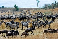 Large aggregation of Wildebeest Connochaetes taurinus and Burchell´s Zebras Equus burchelli at the end of the seasonal peak of migratory herds. Masai ...