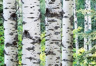 Aspen Trees, late summer, Water Valley, Alberta, Canada.