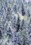 Spruce and Aspen Trees covered with dusting of snow, Porcupine Hills, Alberta, Canada.