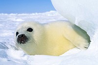 Newborn harp seal Phoca groenlandica pup yellowcoat, Gulf of the St. Lawrence River, Canada. Natal coat stained yellow by amniotic fluid