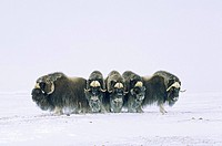 Adult bull muskoxen Ovibos moschatus in defensive line. Banks Island, Northwest Territories, Arctic Canada.