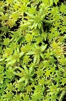 Sphagnum moss, boreal forest, northern Alberta, Canada