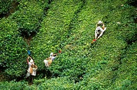 ´Pluckers´ at the Sungai Palas Boh Tea Estate harvest new shoots from the tea plants Camellia sinensis covering the slopes. The Boh Estate produces ha...