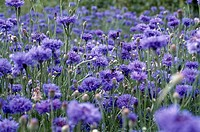 Close_up of flowers in a field
