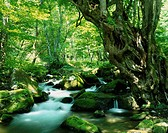 Japanese judas tree Clear stream Shimogo Fukushima Japan