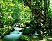 Japanese judas tree Clear stream Shimogo Fukushima Japan