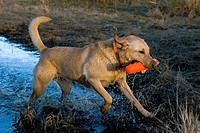 Yellow Labrador retriever retrieving an orange dummy, Wisconsin.