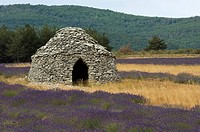 Borie or stone hut and lavender in Provence, France.