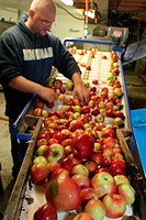 A worker sorting apples on a conveyor belt, Uncle John´s Cider Mill, St. Johns, Michigan.