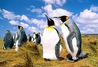 Courting adult king penguins Aptenodytes patagonicus, Salisbury Plains, South Georgia Island, southern Atlantic Ocean