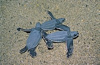 Newborn hatchling leatherback sea turtles Dermochelys coriacea searching for the ocean, Trinidad.