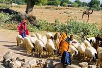 Shepherds with sheep near Ranthambore National Park, Rajasthan, India.