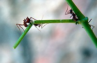 Leafcutter ants Atta sp. bite off pieces of plants to feed a fungus in their nest. The ants have a symbiotic relationship with the fungus and actively...