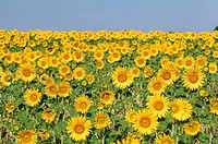 Field of Sunflowers, Plateau de Valensole, Valensole, Provence, France