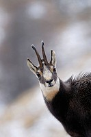 Chamois, Rupicapra rupicapra, National Park Gran Paradiso, Italy, November