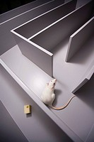 White rat Rattus norvegicus in a maze, Winston_Salem, North Carolina.