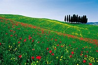 Rape flowers And Poppy flowers,Tuscany,Italy