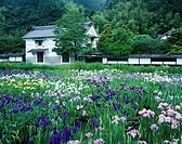 Kamo Japanese iris garden Kakegawa Shizuoka Japan
