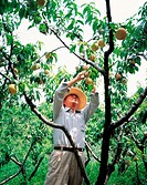 A Farmer Picking Peachs From Peach Tree,Korea