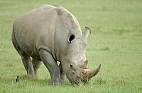 White Rhinoceros (Ceratotherium simum), grazing. Lake Nakuru, Kenya