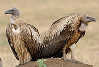 White-Backed Vulture (Gyps africanus). Massai Mara, Kenya
