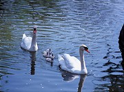 swan parent and child water bird Water surface Wave