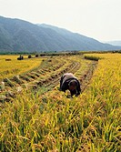 A Farmer Rice Harvesting,Rice Field,Gangwon,Korea
