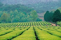 Green Tea Plantation,Jeonnam,Korea