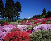 azalea Mountain Mt Fuji Hakone Kanagawa Japan Sky Mountain Snow Tree Flower Red Purple Pink Rouge
