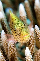 Close_up of Black_Sided Hawkfish Paracirrhites forsteri swimming underwater