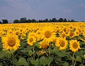 Village of sunflower sunflower Hokuryu Hokkaido Japan Sunflower Flower Plant Flower garden Blue sky