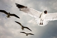 Seagulls in flight (thumbnail)