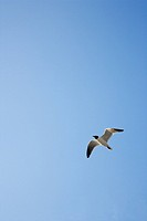 Black_headed Gull in flight on Bald Head Island, North Carolina