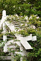 Arbor with blooming rose vine