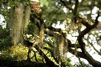Spanish moss hanging from live oak tree on Bald Head Island, North Carolina
