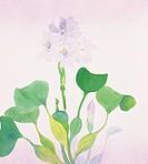 Water hyacinth, close up