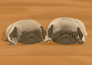 Two Pug puppies lying on wooden floor, one sleeping, front view