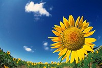 a Sunflower, Surrounded By a Sunflower Field Under a Blue Sky, Fish Eye, Hokkaido Prefecture, Japan, Differential Focus