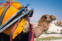 A loaded camel, Turkey, Side View