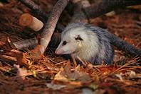 Opossum (Didelphis virginiana)