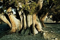 The Patriarch, world´s largest bristlecone, grows at high altitude.