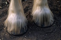 Closeup of a Clydesdale horse´s hoofs and foot hair.