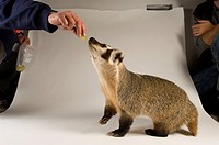 A badger at a rehabilitation center.