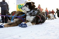 Sled dog life, Yukon Quest 1000_Mile International Sled Dog Race.