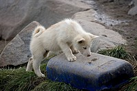 A sled_dog puppy plays on a plastic jug.