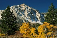 Jeffrey pines and fall_colored quaking aspens under Mount Emerson.