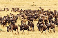 Blue Wildebeest (Connochaetes taurinus) migrating. Masai Mara Nature Reserve, Kenya